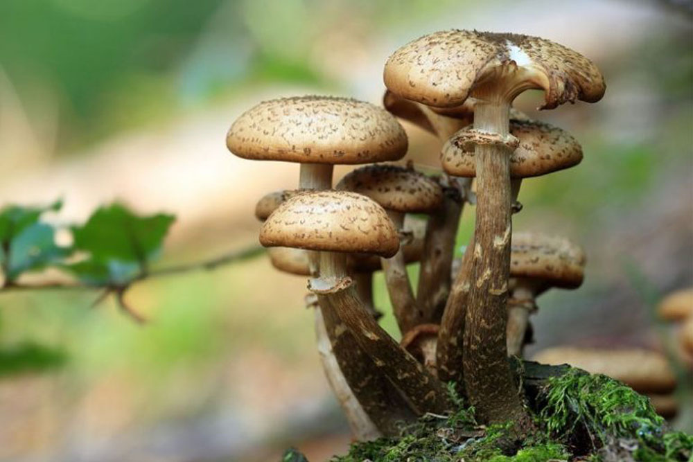 Right now, the benefits of consuming psilocybecubensis are many
